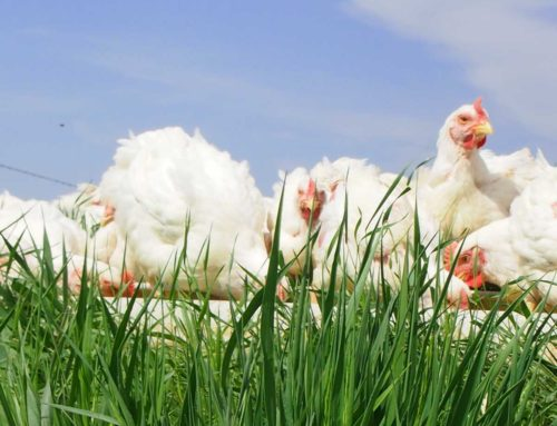 Pastured Poultry in National News