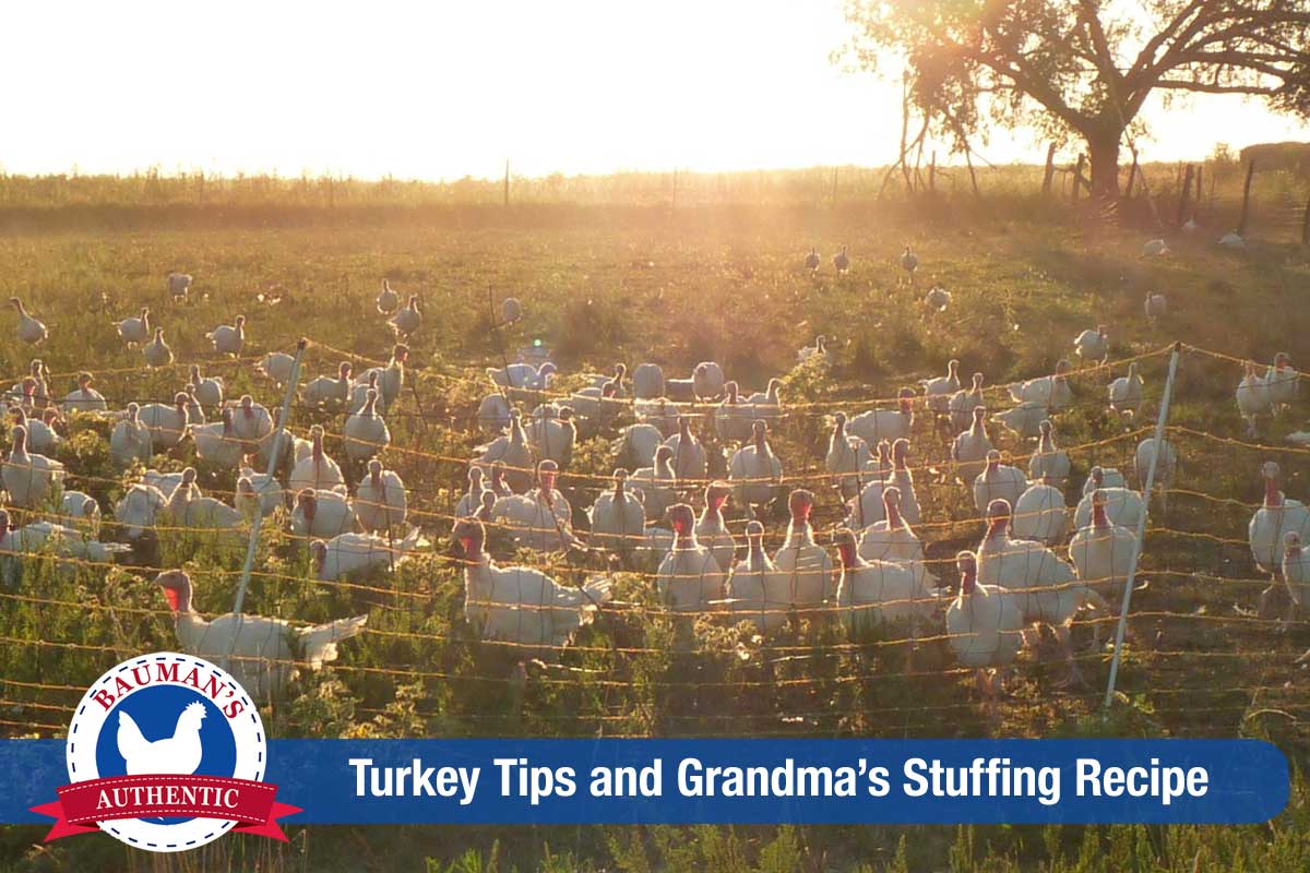 Bauman turkeys on pasture.